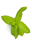 Mint Sprig. A sprig of mint against a white background Royalty Free Stock Photography