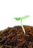 Mint sprout isolated swallow DOF Stock Photography