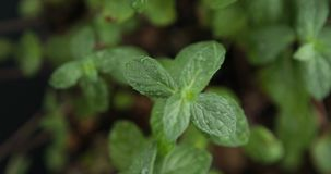 Mint sprouts in the ground.  stock video footage
