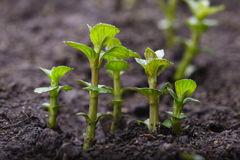 Mint sprouts Stock Photo