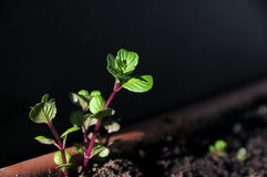 Mint sprouts Stock Photos