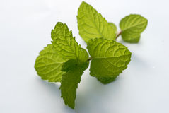 Mint stalk Stock Image