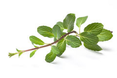 Mint Stalk Royalty Free Stock Image