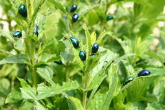Mint stalk with bugs. Mint stalk destroyed by insect pests Royalty Free Stock Photos