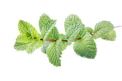 Mint stem Royalty Free Stock Images