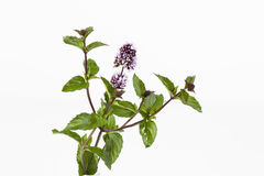 Mint stems with flowers leaves on white background stock image