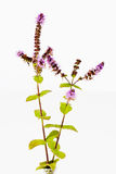 Mint stems with flowers leaves on white background Royalty Free Stock Photos