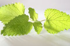 Mint on table Stock Photo