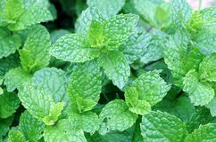 Mint tree in garden Stock Image