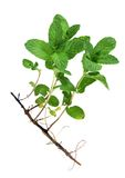 Mint tree Stock Photos