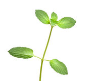 Mint twig. Close up of fresh peppermint (Mentha piperita) twig isolated on white background Stock Images