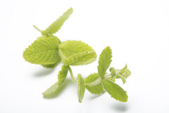 Mint twig. On an white background Stock Images