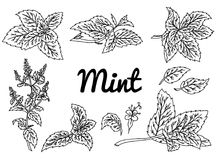 Mint vector drawing set. Isolated mint plant and leaves. Herbal engraved style illustration. Detailed organic product sketch. Cooking spicy ingredient vector illustration