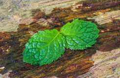 Mint wet leaves on the wooden Stock Photography