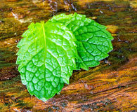Mint wet leaves on the wooden Royalty Free Stock Photo