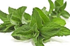 Mint on white. Green lush mint on white Stock Photo