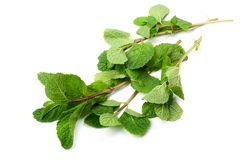 Mint on white background Stock Images
