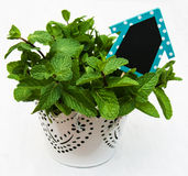 Mint in a white pot. Mint in a metal pot with a empty wooden label in house shape Royalty Free Stock Photo