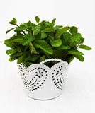 Mint in a white pot. On a old wooden background Royalty Free Stock Photos