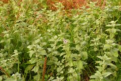 Mint in wild Stock Photography