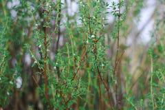 Minthostachys mollis medicinal palnt Stock Image
