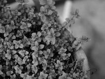 MINTKARAMELL FÖR MENTHAARVENSISHAVRE, FÄLTMINTKARAMELL AV DEN LÖSA MINTKARAMELLEN Fotografering för Bildbyråer