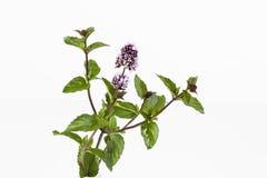 Mintkaramellstammar med blommasidor på vit bakgrund Fotografering för Bildbyråer