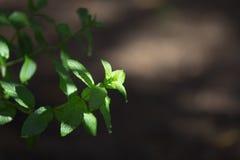 Mintkaramellväxter som fotograferas i morgonljuset i selektiv fokus med daggdroppar på sidorna arkivbild
