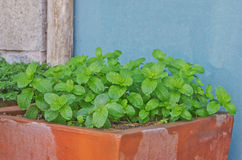 Mints in garden Royalty Free Stock Photos