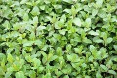 Mintväxter till marknadsföra Royaltyfri Bild