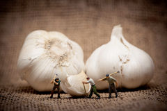 Minuature workers cutting up a garlic bulb. Color tuned photo Royalty Free Stock Photos