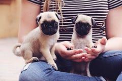 Minuscolo piccolissimo dei cuccioli del carlino fotografia stock libera da diritti