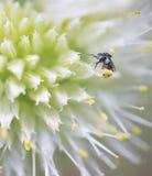 Minute Australian Native Stingless Bee Stock Photography