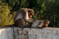 Minute Work. One monkey looking very carefully and searching lice on the other one as their symbol of love or relationship stock photo