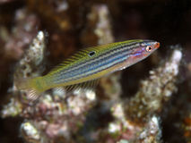 Minute wrasse. In red sea royalty free stock images