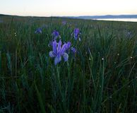 5 minutes before sunrise. Irises in the steppe 5 minutes before sunrise, Khakassia, Russia royalty free stock photos