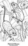 Minutus de Micromys del ratón de cosecha Foto de archivo