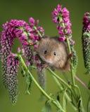 Minutus lindo adorable de los micromys del ratón de cosecha en follaje rojo de la flor con el fondo verde neutral de la naturalez imagen de archivo
