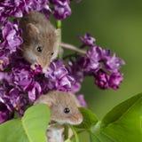 Minutus lindo adorable de los micromys de los ratones de cosecha en follaje rosado de la flor con el fondo verde neutral de la na imagenes de archivo