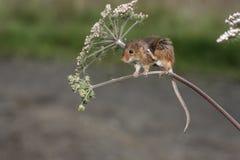 Ποντίκι συγκομιδών, minutus Micromys Στοκ φωτογραφίες με δικαίωμα ελεύθερης χρήσης