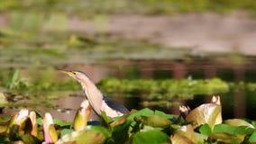 Minutus pequeno do Ixobrychus da água-mãe em habitat naturais vídeos de arquivo