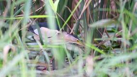Minutus pequeno do Ixobrychus da água-mãe no habitat natural filme