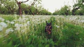 Minuty szpilki pies biega wzdłuż grees trawy w ogródzie zbiory wideo