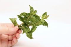 Minze in der Hand Kräuter für Lebensmittel und Medizin lizenzfreies stockfoto