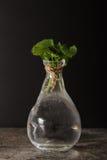 Minze in einem Glasvase mit Wasser stockfotos
