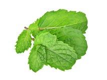 Minze treibt Kraut Blätter Getrennt auf weißem Hintergrund Stockbild