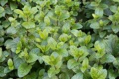 Minzenblätter in einem Gemüsegarten lizenzfreie stockbilder