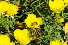 Miodowa pszczoła na Karłowatym Kalifornia maczka Eschscholzia caespitosa obraz royalty free