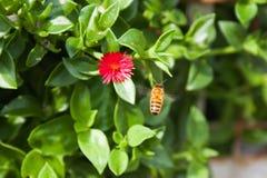 Miodowa pszczoła fotografia royalty free