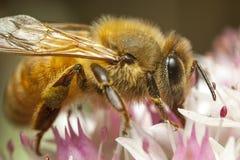 Miodowa pszczoła Obrazy Royalty Free